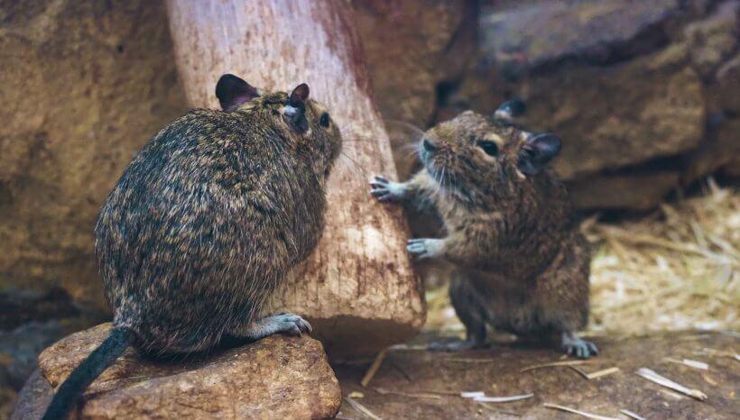 Endometriózisos patkányokkal a tudomány fejlődéséért avagy stresszkezeléssel az endometriózis ellen