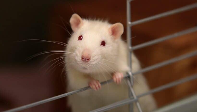 Sikerült modellezni az endometriózist patkányokban
